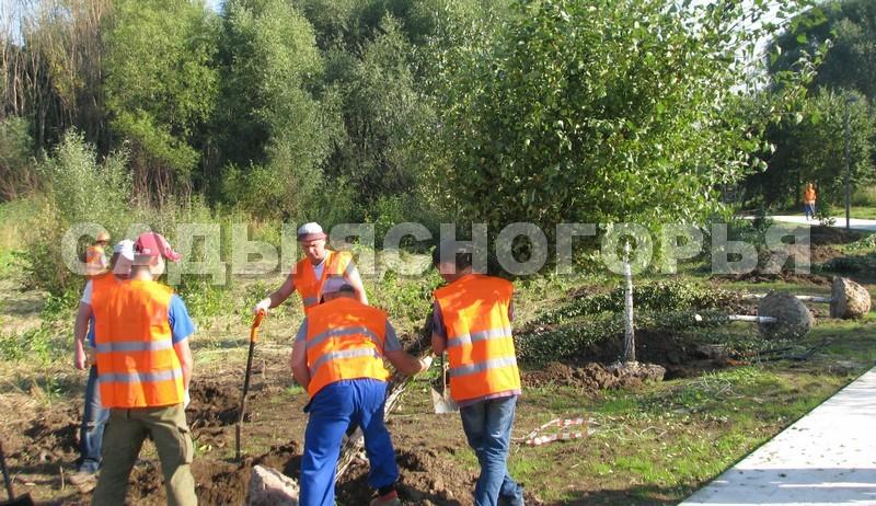 Береза повислая (Betula pendula) - посадка