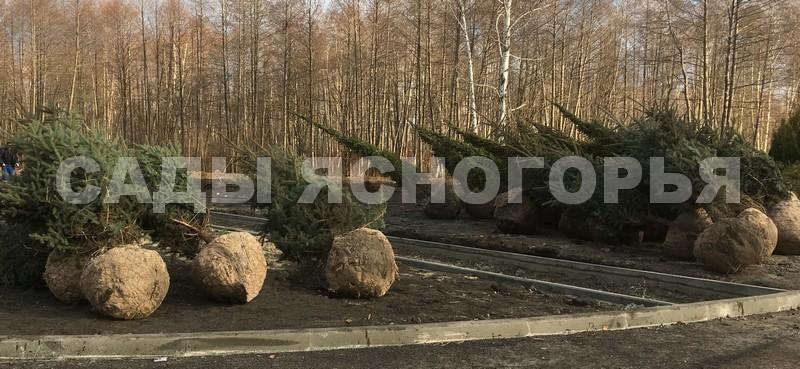 Ель обыкновенная (Picea abies) - посадка) - продажа в питомнике Сады Ясногорья (Тульская область)