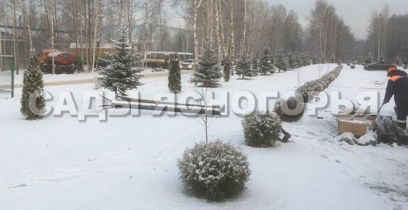 Туя западная Глобоза (Thuja occidentalis 'Globosa') и Смарагд - посадка растений в аллею в городе (Московская область)