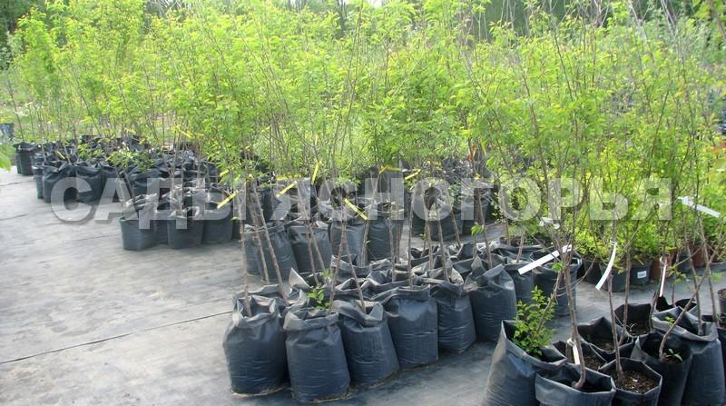 Саженцы Абрикос - продажа в питомнике Сады Ясногорья (Тульская область)