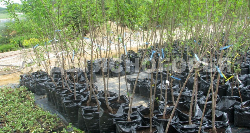 Саженцы Алыча - продажа в питомнике Сады Ясногорья (Тульская область)