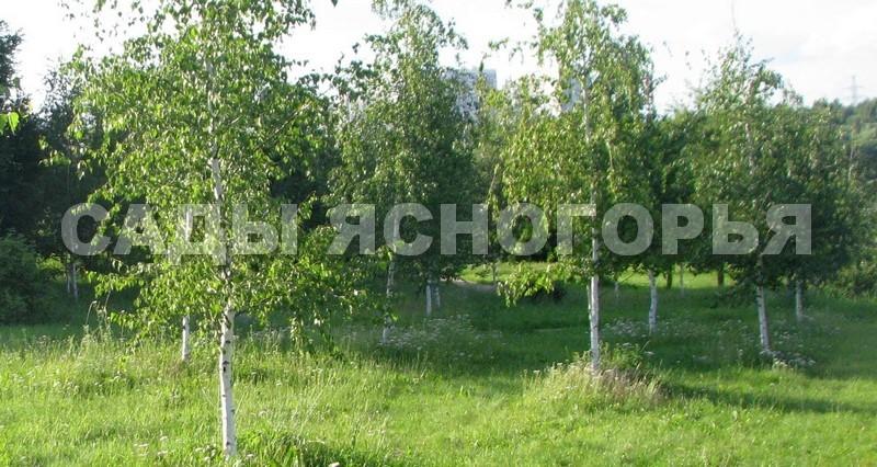 Саженцы Береза повислая (Betula pendula) - продажа в питомнике Сады Ясногорья (Тульская область)