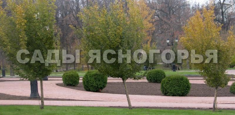 Крупномеры Боярышник однопестичный (Crataegus monogyna) - продажа в питомнике Сады Ясногорья (Тульская область)