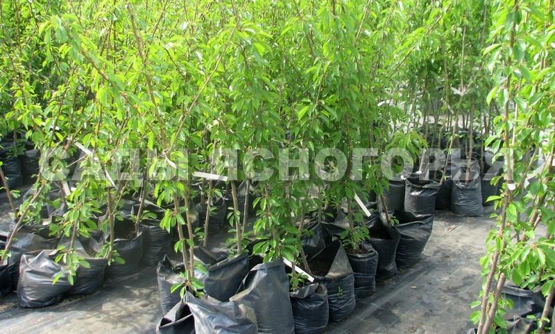 Саженцы Черешня - продажа в питомнике Сады Ясногорья (Тульская область)