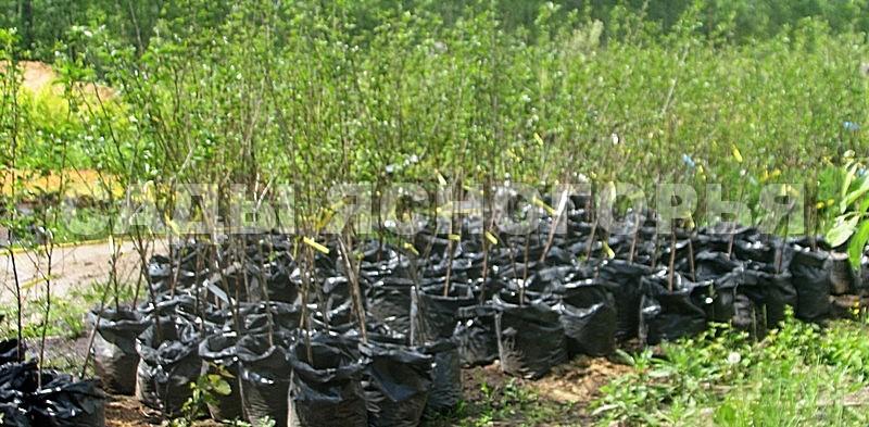Саженцы Дюк - продажа в питомнике Сады Ясногорья (Тульская область)