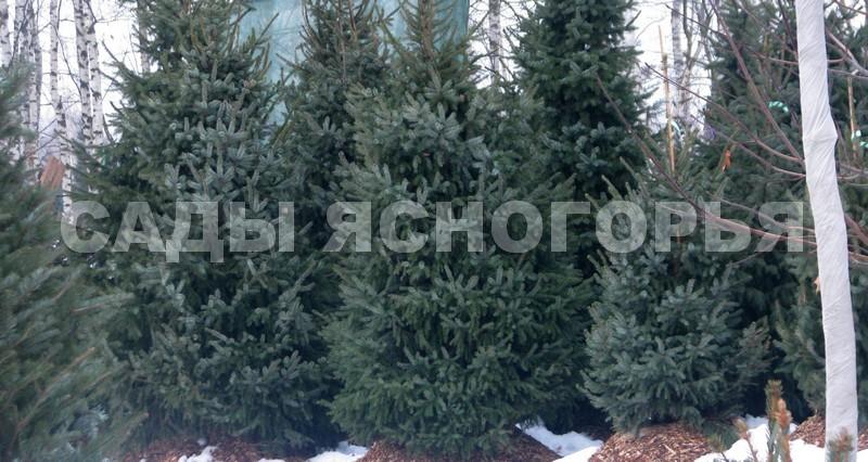 Крупномеры Ель сербская (Picea omorika) - продажа в питомнике Сады Ясногорья (Тульская область)