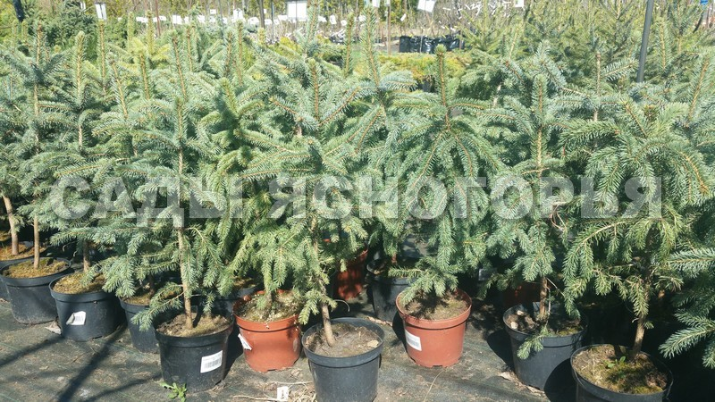 Саженцы Ель сизая (Ель канадская) (Picea glauca) - продажа в питомнике Сады Ясногорья (Тульская область)