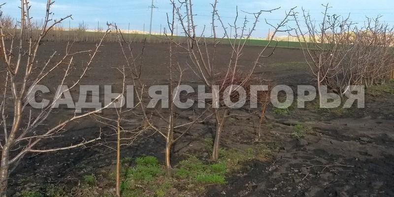 Крупномеры Груша - продажа в питомнике Сады Ясногорья (Тульская область)