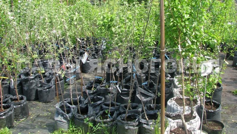 Саженцы Груша - продажа в питомнике Сады Ясногорья (Тульская область)