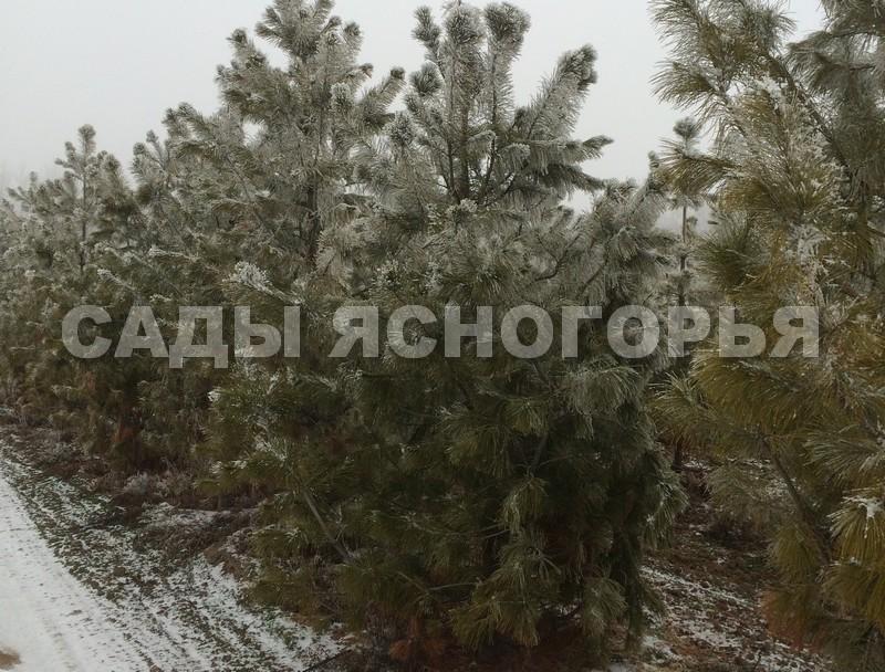 Крупномеры Сибирский кедр (Сосна кедровая сибирская, Pinus sibirica) - продажа в питомнике Сады Ясногорья (Тульская область)