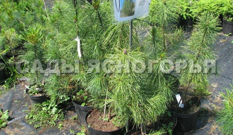 Саженцы Сибирский кедр (Сосна кедровая сибирская, Pinus sibirica) - продажа в питомнике Сады Ясногорья (Тульская область)