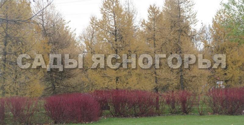 Крупномеры Лиственница европейская (Larix decidua) - продажа в питомнике Сады Ясногорья (Тульская область)