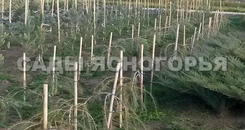 Саженцы Лиственница европейская Пендула (Larix decidua 'Pendula') - продажа в питомнике Сады Ясногорья (Тульская область)