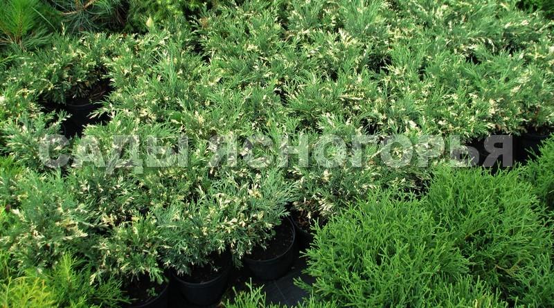Саженцы Можжевельник казацкий Вариегата (Juniperus sabina 'Variegata') - продажа в питомнике Сады Ясногорья (Тульская область)