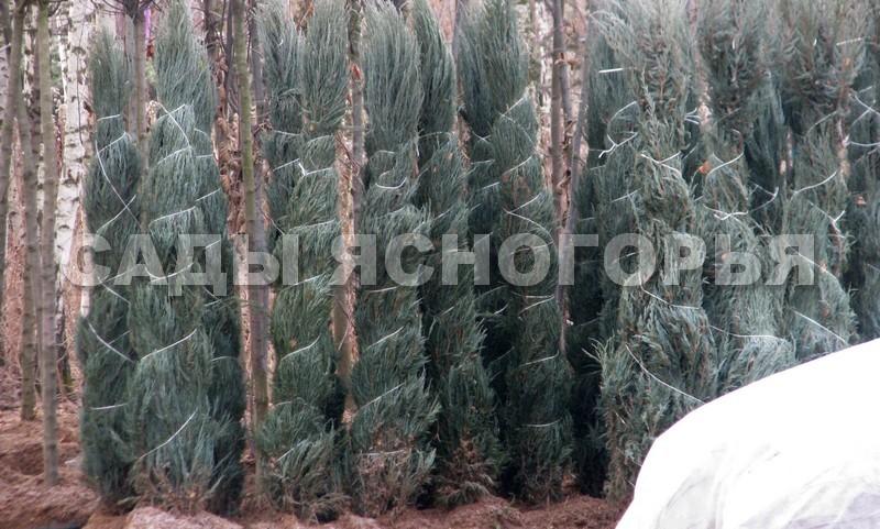Крупномеры Можжевельник скальный Блю Арроу (Juniperus scopulorum 'Blue Arrow') - продажа в питомнике Сады Ясногорья (Тульская область)