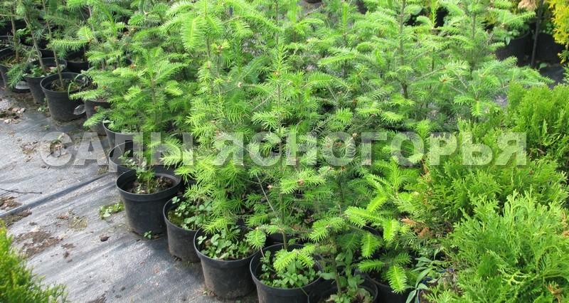 Саженцы Пихта бальзамическая (Abies balsamea) - продажа в питомнике Сады Ясногорья (Тульская область)