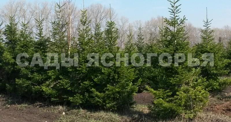 Крупномеры Пихта сибирская (Abies sibirica) - продажа в питомнике Сады Ясногорья (Тульская область)