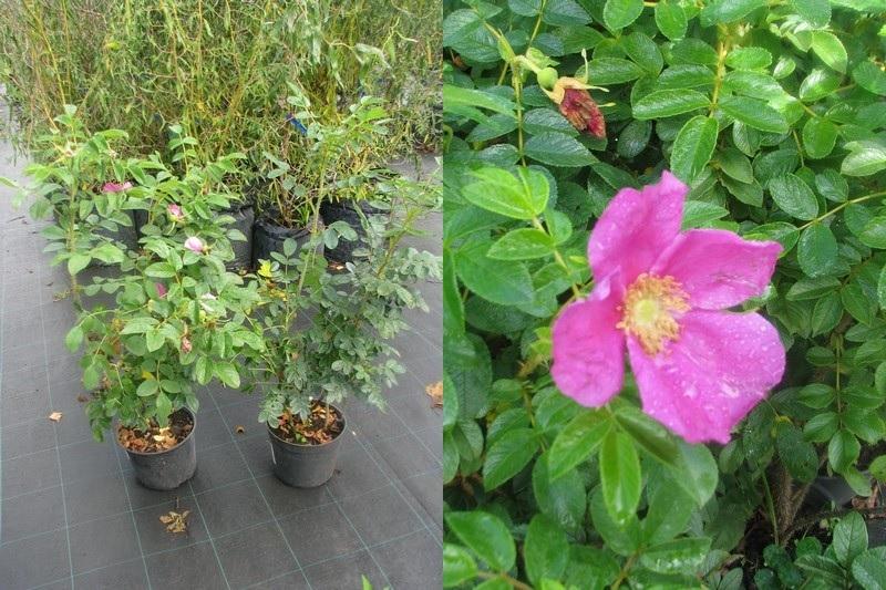 Саженцы Шиповник морщинистый (Роза ругоза рубра, Rosa rugosa rubra) - продажа в питомнике Сады Ясногорья (Тульская область)