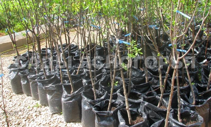 Саженцы Слива - продажа в питомнике Сады Ясногорья (Тульская область)