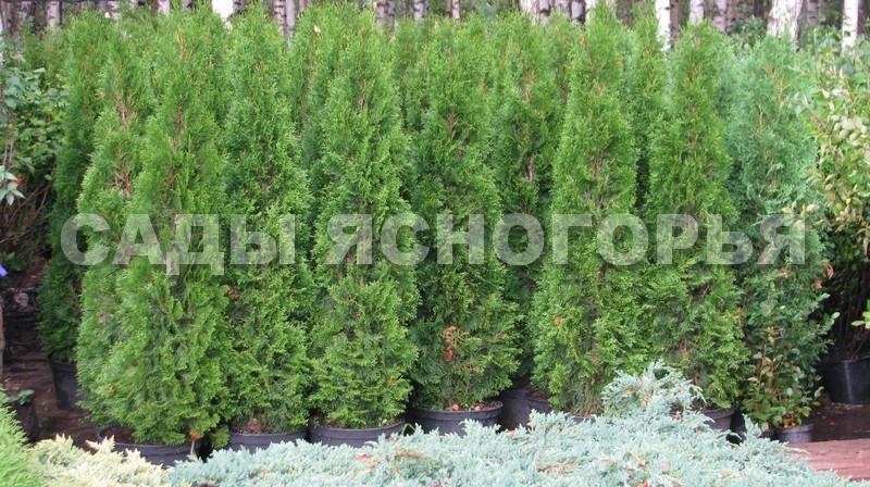 Крупномеры Туя западная Смарагд (Thuja occidentalis 'Smaragd') - продажа в питомнике Сады Ясногорья (Тульская область)