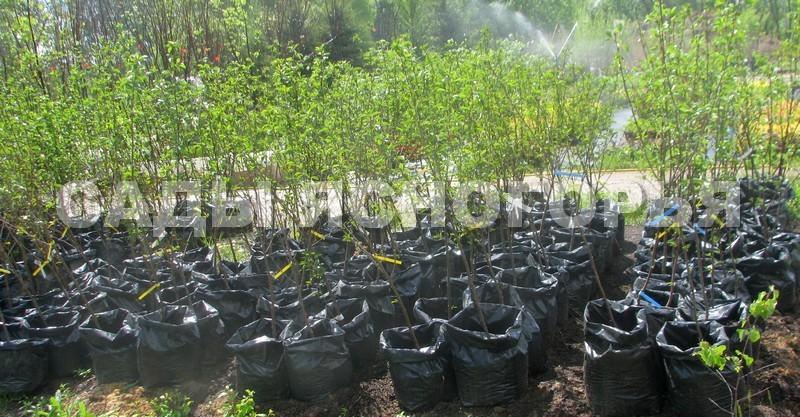 Саженцы Вишня - продажа в питомнике Сады Ясногорья (Тульская область)
