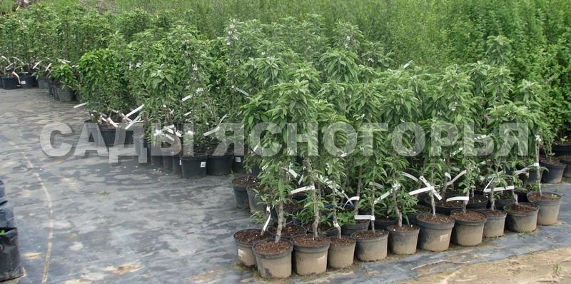 Саженцы Яблоня колонновидная - продажа в питомнике Сады Ясногорья (Тульская область)