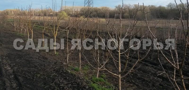 Крупномеры Яблоня - продажа в питомнике Сады Ясногорья (Тульская область)