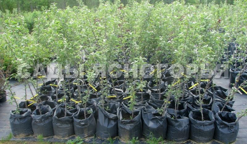 Саженцы Яблоня - продажа в питомнике Сады Ясногорья (Тульская область)